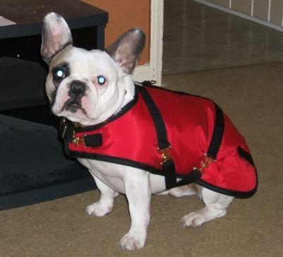 French Bulldog Coat