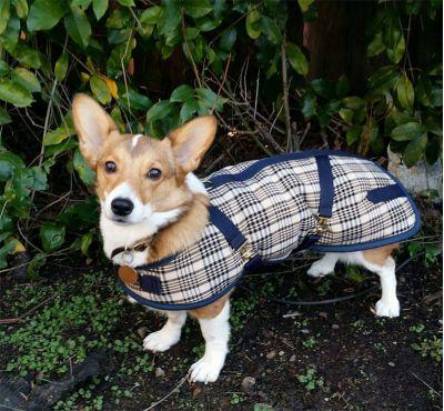 Dachshund Dog Coat Blue Plaid
