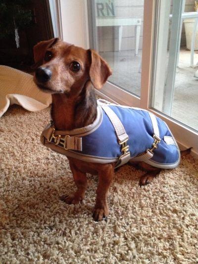 Dachshund Dog Coat Slate
